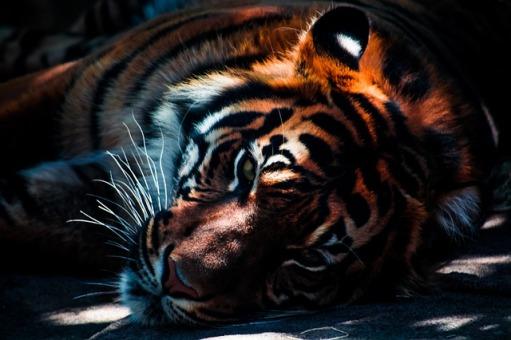 tiger-768574_640.jpg